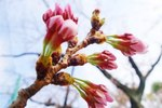 Bud-of-the-cherry-tree.jpg